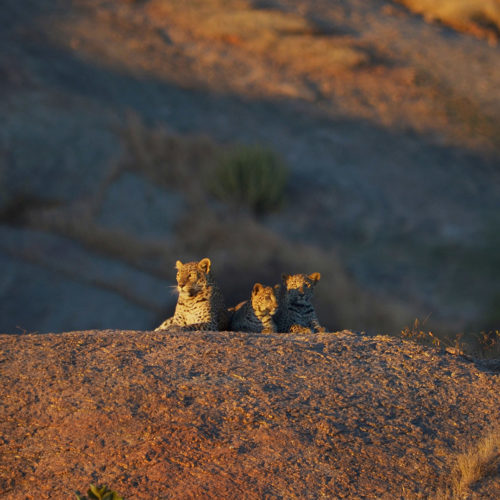 jawai-leopard-camp-leapord-on-a-rock