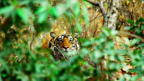 Greaves India tiger in the wilderness