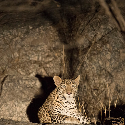 jawai-leopard-camp-leapord-in-the-dark